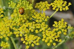 Ladybird on Wild Parsnip. Seven-Spot Ladybird - Coccinella septempunctata on Wild Parsnip - Pastinaca sativa Royalty Free Stock Image