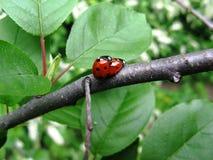 Ladybird wiosny miłość zdjęcie royalty free
