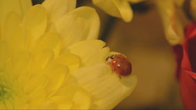 Ladybird on yellow chrysanth. stock video