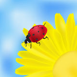 Ladybird and yellow flower Stock Photography