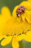 Ladybird on yellow flower, Coccinella Royalty Free Stock Photography