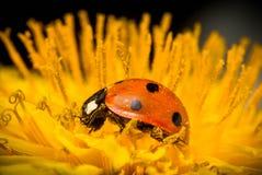 Ladybird in yellow flower. Stock Image