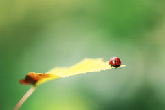 Ladybird on yellow leaf Royalty Free Stock Images