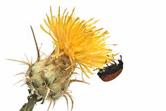 Ladybird on a yellow thistle. Stock Photos