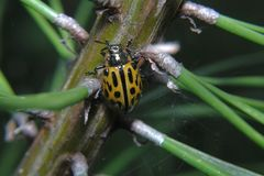 Ladybird yellow to black spot sits on a fir branch, and next to the spider webs Royalty Free Stock Photography