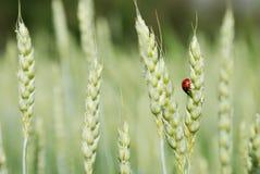 ladybird żyto obrazy royalty free