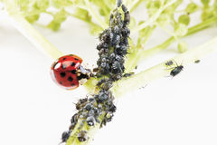Ladybirdr (Coccinellidae) och bladlöss (Sternorrhyncha) på elderflowerstammen (Sambucusnigraen) Royaltyfri Foto