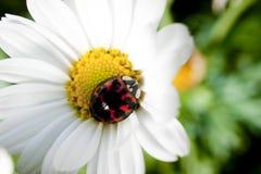 Ladybirds арлекина Стоковое Фото