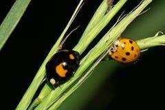 Ladybirds макроса 2 в траве в предгорьях Кавказа Стоковая Фотография