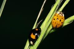 Ladybirds макроса 2 желт-черные с крылами проползая в gras стоковое изображение rf