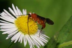 Ladybirds макроса 2 желт-черные с крылами проползая в gras стоковое фото rf