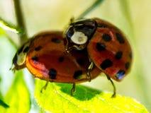 2 ladybirds на лист Стоковые Изображения RF