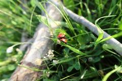 Ladybirds на лист Стоковое фото RF