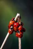 7 ladybirds пятна Стоковые Изображения RF