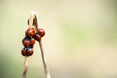 7 ladybirds пятна Стоковые Фото