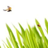 ladybirds травы Стоковые Фотографии RF