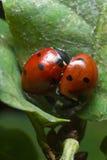 ladybirds Стоковые Фотографии RF