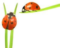 ladybirds Стоковые Фото