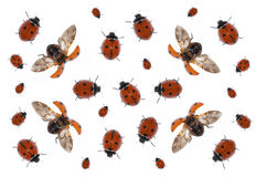 Ladybirds. Many ladybirds against the white background Royalty Free Stock Photography