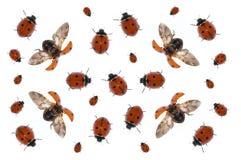 ladybirds Стоковая Фотография RF