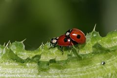 Ladybirds Royalty Free Stock Images