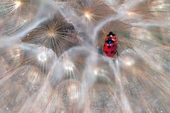 Ladybirds Royalty Free Stock Photography