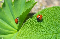 ladybirds Fotografia Royalty Free