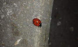 ladybirds Imagem de Stock