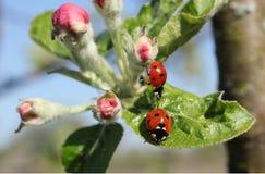 ladybirds Immagini Stock