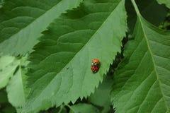 ladybirds Стоковое Изображение RF