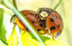 ladybirds 2 Стоковое фото RF