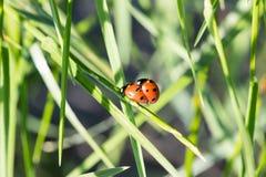 ladybirds 2 Стоковые Изображения