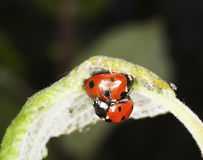 Ladybirds and aphids. Extreme close-up. Stock Image