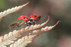 Ladybirds on the autumn leaf of fern. Stock Image