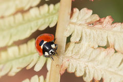 Ladybirds on the autumn leaf of fern. Stock Photos