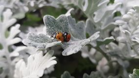 Ladybirds on a beautiful leaf. Close up of two ladybugs on a beautiful leaf in sunny day stock video footage