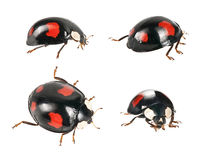 Ladybirds  beetle Stock Images