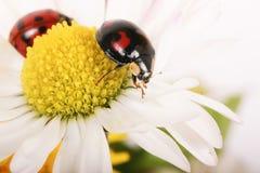 Ladybirds on daisy 2 Royalty Free Stock Image