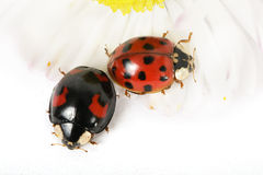 Ladybirds on daisy 4 Royalty Free Stock Photos