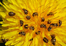Ladybirds and dandelion Royalty Free Stock Photos