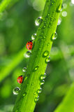 Ladybirds and dew Royalty Free Stock Photo