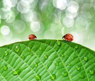 Ladybirds and dew. Ladybird on the dewy leaves Stock Images
