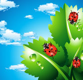 Ladybirds Stock Photos