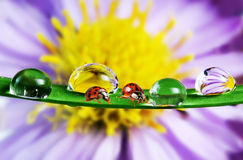 Ladybirds and flower Royalty Free Stock Image