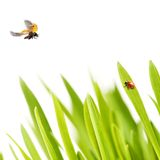 Ladybirds and grass. Ladybirds relaxing on green grass Royalty Free Stock Photos