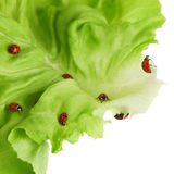 Ladybirds on a green leaf Stock Images