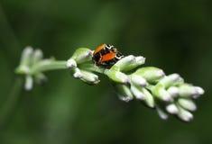 Ladybirds having sex Royalty Free Stock Image