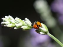 Ladybirds having sex Stock Photo
