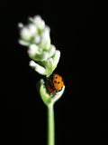 Ladybirds Having Sex Stock Image