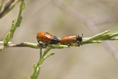 Ladybirds mating. Stock Photography